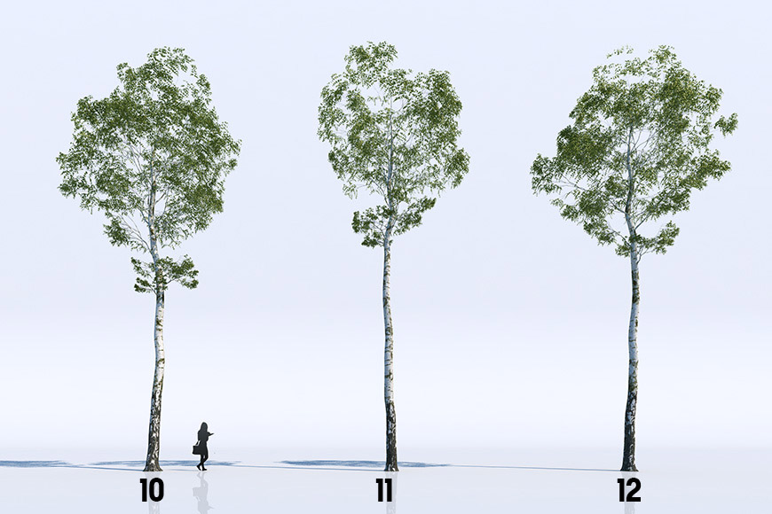 18 Birch Trees free Vizpeople